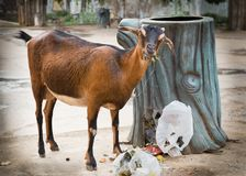 Stray goat is eating garbage Royalty Free Stock Photo