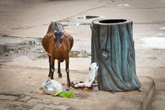 Stray goat is eating garbage Royalty Free Stock Photos