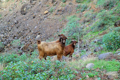 Stray goats Royalty Free Stock Photo