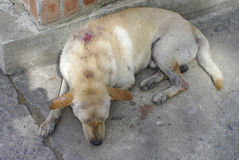 Stray injured dog Royalty Free Stock Image