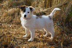 Stray  little  puppy Stock Photos