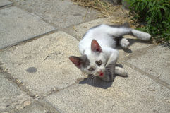 Stray mewing kitten Royalty Free Stock Photo