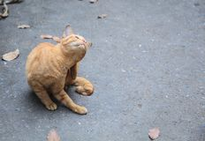 Stray mixed breed orange striped color street cat feels itchy, scratching its back with hind leg on asphalt concrete street stock photography