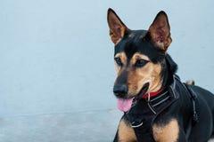 Stray mongrel rescued thai dog resting soft grey background royalty free stock image