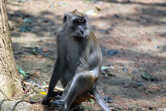 Stray Monkey Royalty Free Stock Photos