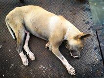 Stray old dog sleeping. On old grunge iron floor Royalty Free Stock Photo