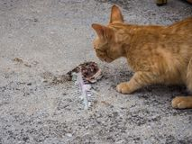 Stray orange cat eating a rest of fish, Sucuraj, Croatia stock images