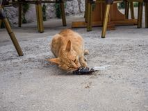 Stray orange cat eating a rest of fish, Sucuraj, Croatia stock photography