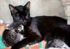 Stray protective cat mom and kittens. Stray protective cat with kittens in a shelter stock images