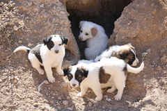 Stray puppies Royalty Free Stock Photography