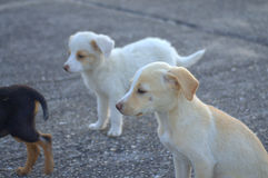 Stray puppy dogs Royalty Free Stock Images
