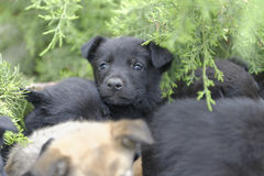 Stray puppy dogs. Portrait of stray black puppy dogs with green plants in background Royalty Free Stock Photo