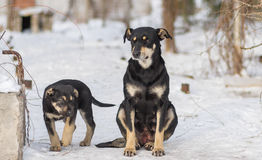 Stray puppy guarding the territory while mom sitting next on a snow. Black stray puppy guarding the territory while mom sitting next on a snow Stock Image