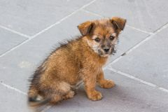 Stray puppy looking for attention. A stray puppy making eye contact hoping for attention Royalty Free Stock Photography