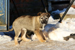 Stray puppy in the snow Stock Images