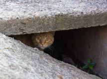 Stray red cat peeking from the slit Royalty Free Stock Images
