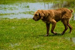 Stray red dog run on green grass Royalty Free Stock Photography
