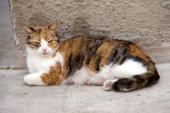 Stray red nursing female cat. Lying on a street, looking to camera, closeup Royalty Free Stock Photography
