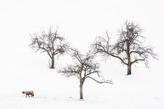 Stray sheep or one sheep and three little trees in winter with a lot of snow. Stray sheep or one sheep and three little trees in winter with a lot of snow Stock Image