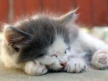 Stray small cat Royalty Free Stock Image