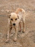 Stray Stinky Dog. A very sad, stinky and boney stray dog in Malaysia Royalty Free Stock Image