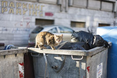 Stray street cat on trash dumpster Royalty Free Stock Photo