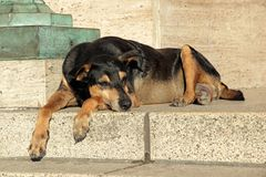Stray street dog. Homeless, stray street dog laying down on the steps of a building Royalty Free Stock Images