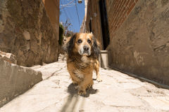 Stray street dog in Guanajuato,Mexico Stock Images