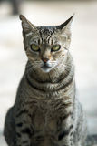 Stray Tabby Cat. A stray tabby cat sits amid a bustling market place, waiting for its next meal Stock Images