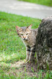 Stray Tabby Cat Hiding Behind a Rock Near a Path Royalty Free Stock Photo