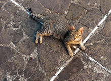 Stray tabby cat, looking appealing Royalty Free Stock Images