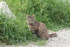 Stray cat sitting in the grass. Stray tabby cat sitting in the green grass and looking at something with an intent look stock image