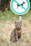 A stray tabby cat is sitting on the lawn Royalty Free Stock Photo