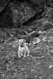 Stray Temple Puppies Royalty Free Stock Images