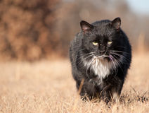 Stray tomcat walking towards viewer. Rugged, beat up black and white stray tomcat walking towards viewer with a menacing look Royalty Free Stock Images
