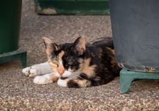 Stray tortoiseshell calico cat lying down on pebblecrete among pots. Stray orange, black and white tortoiseshell calico cat lying down relaxed on pebblecrete stock image