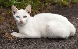 Stray White Cat with Different-colored Eyes Stock Photos