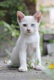 Stray White Kitten. With Different Coloured Eyes (Heterochromia Stock Photo