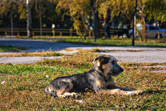 Stray young dog resting on the grass Stock Photography