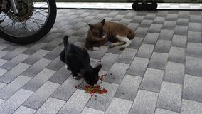 Stray Young Mother Black Cat and Big Father Brown Cat Eat Dry Food on the Floor. Lover Cat Cuddle together.  stock video
