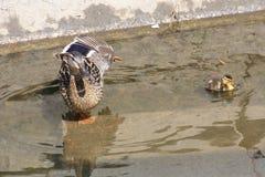 Sträcka modern ducka med hennes ankungar i vatten Royaltyfria Bilder