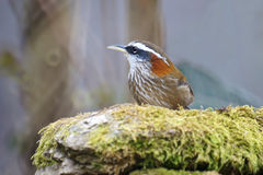 Streak-breasted Scimitar Babbler Royalty Free Stock Photography