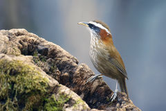 Streak-breasted Scimitar Babbler Royalty Free Stock Images