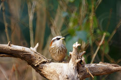 Streak-breasted Scimitar Babbler Royalty Free Stock Image