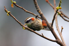 Streak-breasted Scimitar Babbler Stock Image