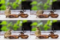 Streak-eared Bubul bird eating ripen banana Stock Images