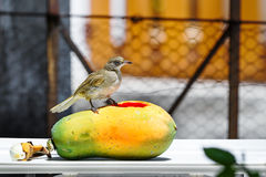 Streak-eared Bubul bird on fruit Stock Photo