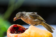 Streak-eared Bubul bird Stock Photography