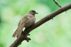 Streak-eared Bulbul Stock Photo