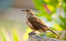 Streak eared bulbul Stock Photography
